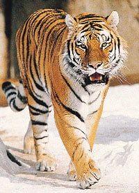 Tiger Thai Tattoo